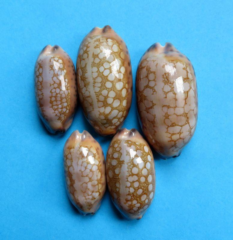 Mauritia scurra mundula - Lorenz, 2002  voir  Mauritia scurra scurra - (Gmelin, 1791) P_scurmund10