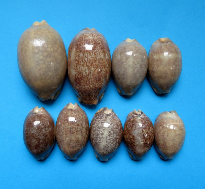 Mauritia eglantina griseoformis  -  (Duclos, 1833) P_eglagris10