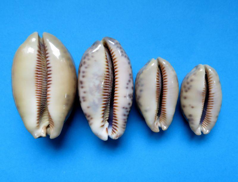 Mauritia eglantina griseoformis  -  (Duclos, 1833) P_eglagris11
