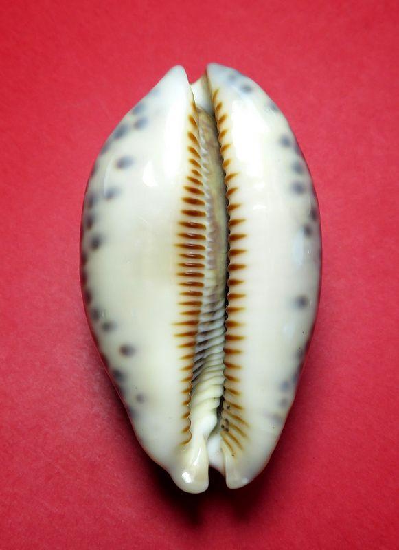 Mauritia eglantina - (Duclos, 1833) - Page 3 P_eglant15