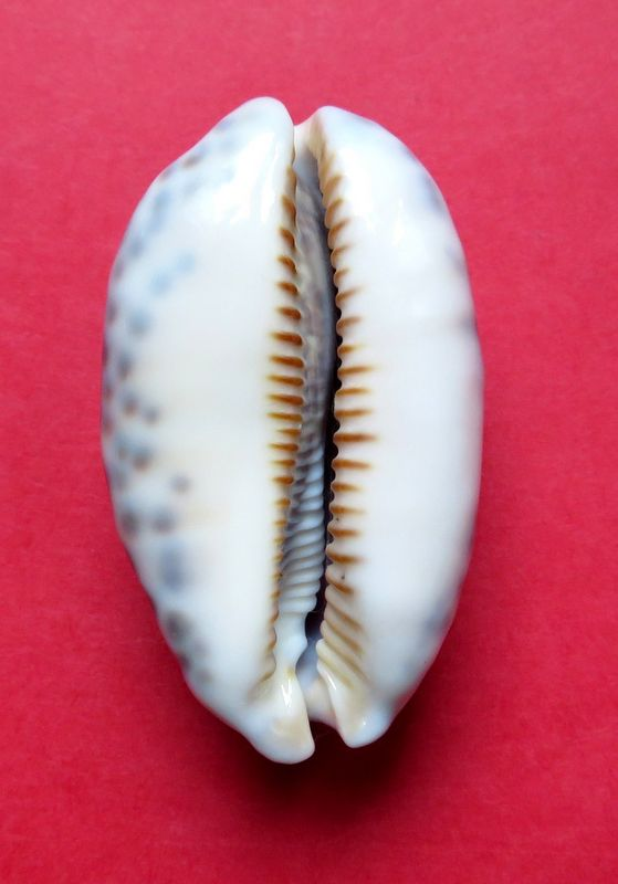 Mauritia eglantina - (Duclos, 1833) - Page 3 P_eglant20