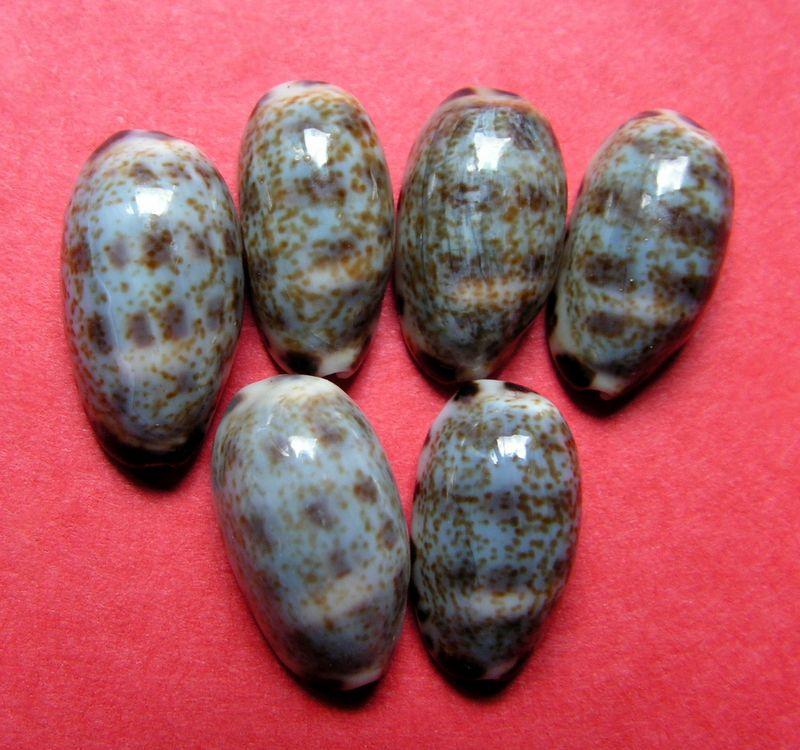Melicerona listeri - (Gray, 1824) P_listlist10