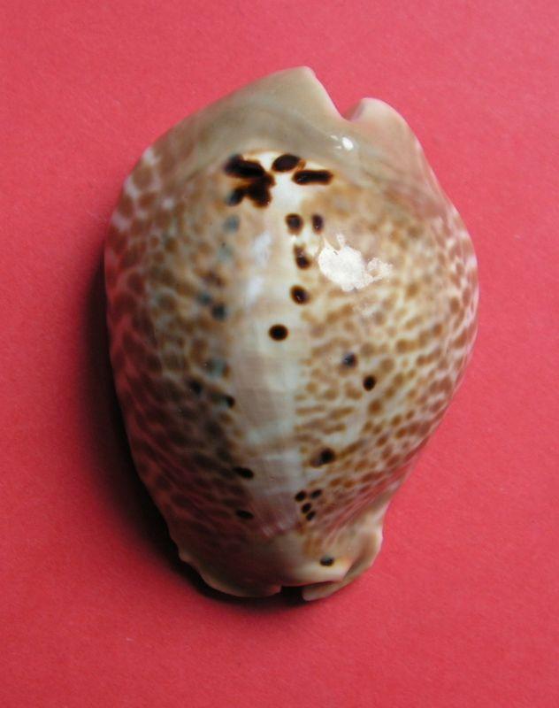 Muracypraea mus donmoorei - Petuch, 1979  P_musdonm12