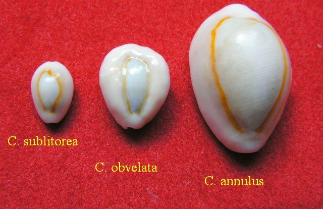 Monetaria annulus sublitorea - Lorenz, 1997 P_subl9
