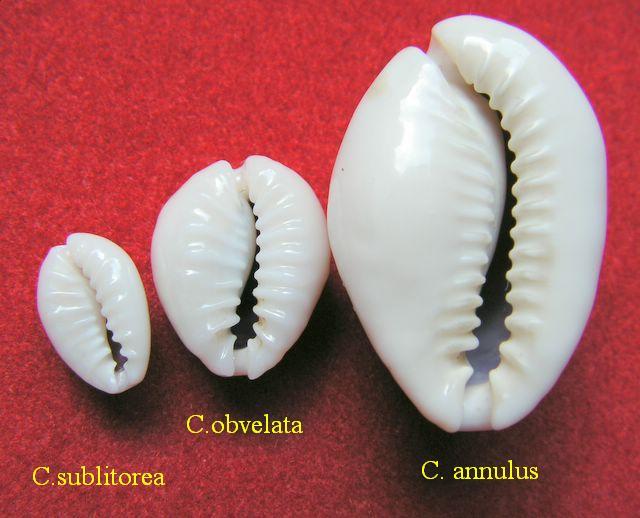 Monetaria annulus sublitorea - Lorenz, 1997 P_subl90
