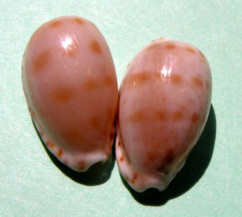 Notocypraea pulicaria - (Reeve, 1846) P_pulic10