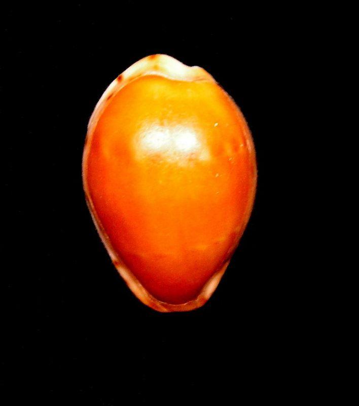 Palmadusta androyensis consanguinea - Blöcher & Lorenz, 2000 C_andrcons13