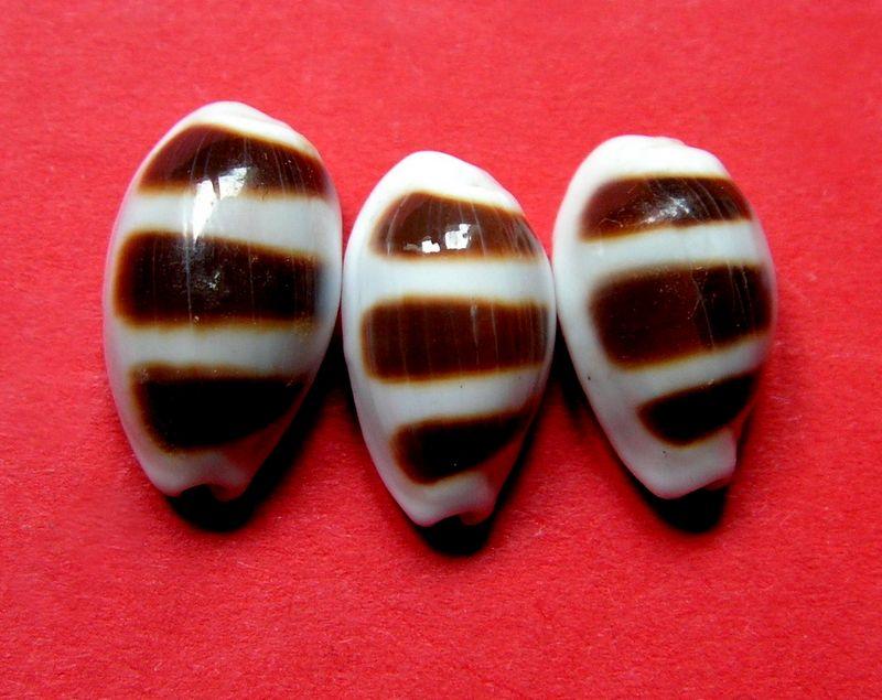 Palmadusta asellus bitaeniata - (Geret, 1903) voir Palmadusta asellus asellus - (Linnaeus, 1758) P_asell27