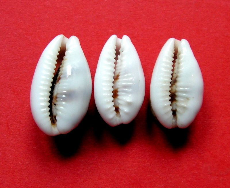 Palmadusta asellus bitaeniata - (Geret, 1903) voir Palmadusta asellus asellus - (Linnaeus, 1758) P_asell28