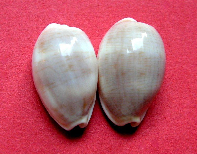 Palmadusta clandestina clandestina - (Linnaeus, 1767) representé par Palmadusta clandestina - (Linnaeus, 1767) C_clanclan12