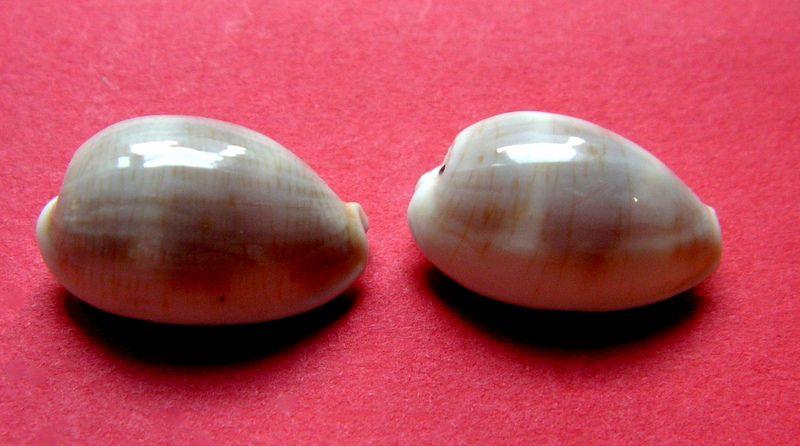 Palmadusta clandestina clandestina - (Linnaeus, 1767) representé par Palmadusta clandestina - (Linnaeus, 1767) C_clanclan13