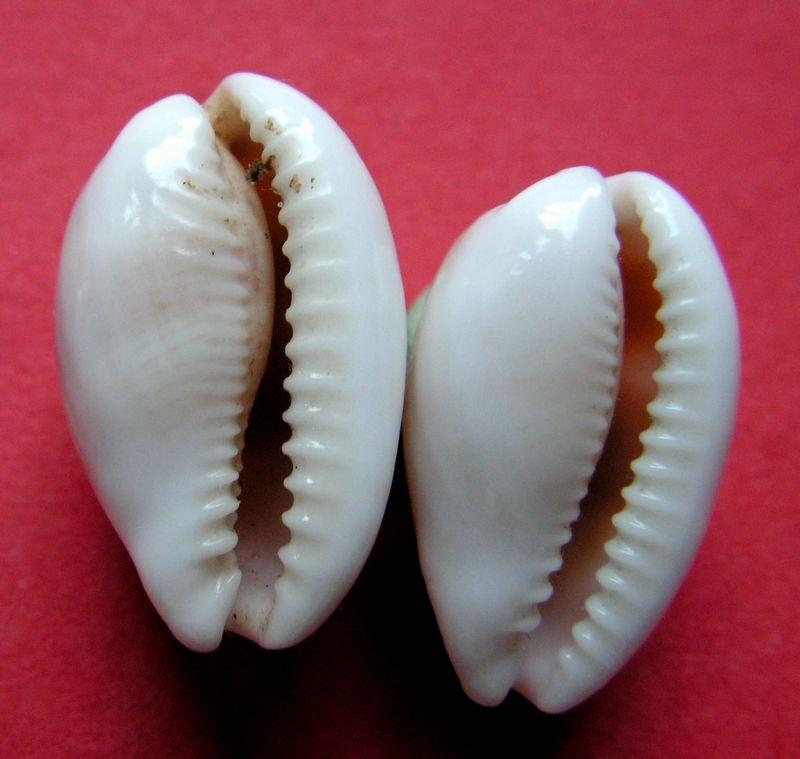 Palmadusta clandestina clandestina - (Linnaeus, 1767) representé par Palmadusta clandestina - (Linnaeus, 1767) C_clanclan14