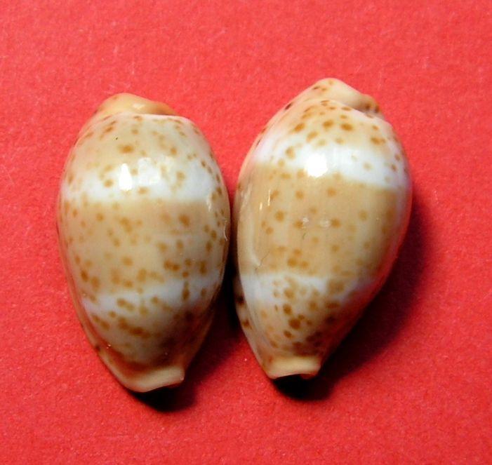 Palmadusta lutea - (Gmelin, 1791) P_lutelute15