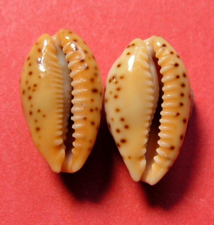 Palmadusta lutea - (Gmelin, 1791) P_lutelute16