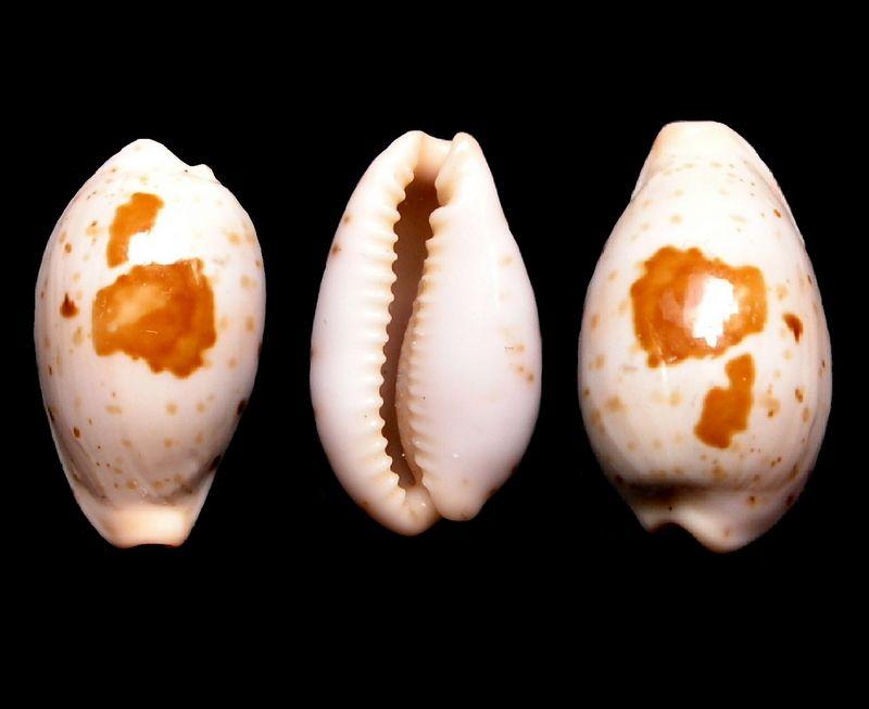 Palmadusta saulae nugata f. crackeï - Cate, 1968 P_saulcrak15