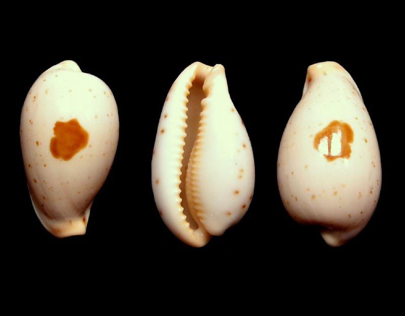 Palmadusta saulae siasiensis - (Cate, 1960) P_saulsias_0