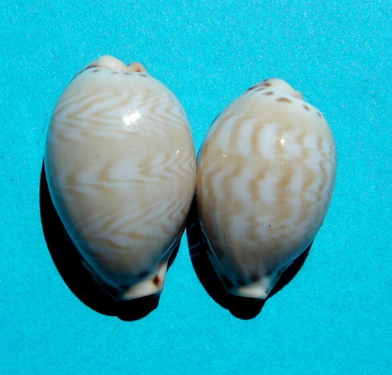 Palmadusta ziczac misella - (Perry, 1811) P_ziczmise17