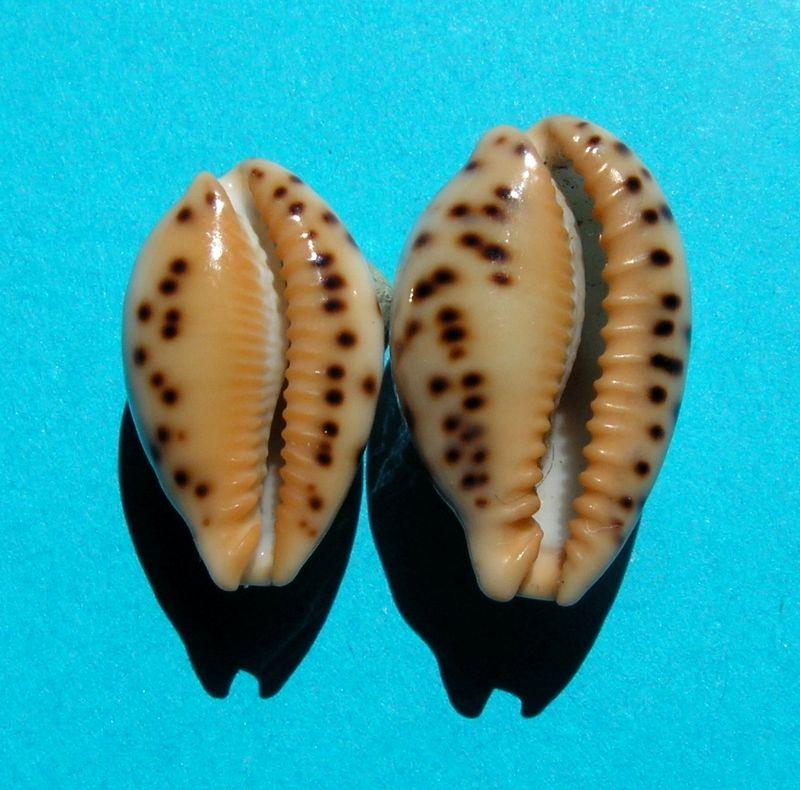 Palmadusta ziczac misella - (Perry, 1811) P_ziczmise18