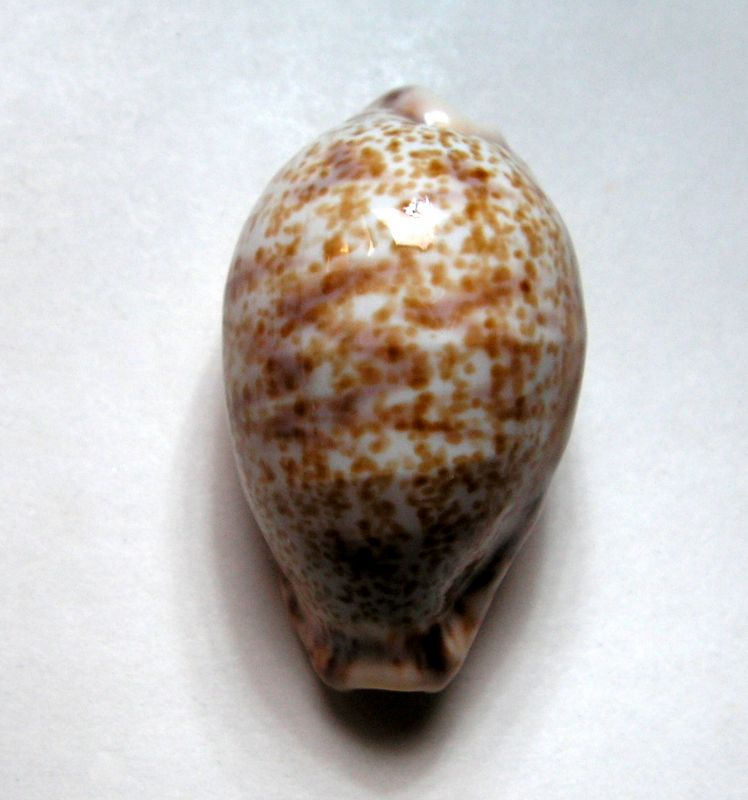 Palmadusta lentiginosa f. buhariensis - (Jonklaas, R.S.L. & K. Nicolay, 1977)  P_lentbuha20