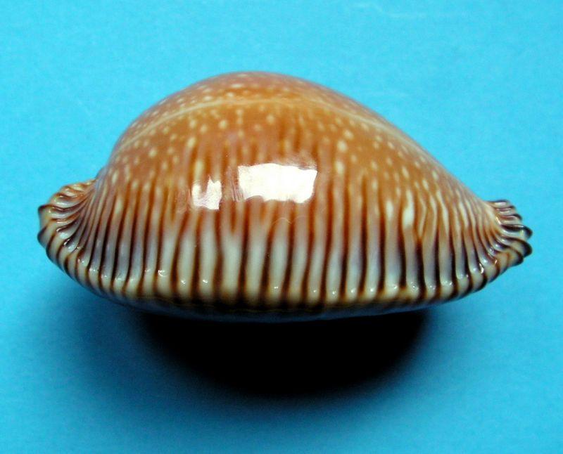 Perisserosa guttata surinensis - (Raybaudi, 1978) P_guttsuri10