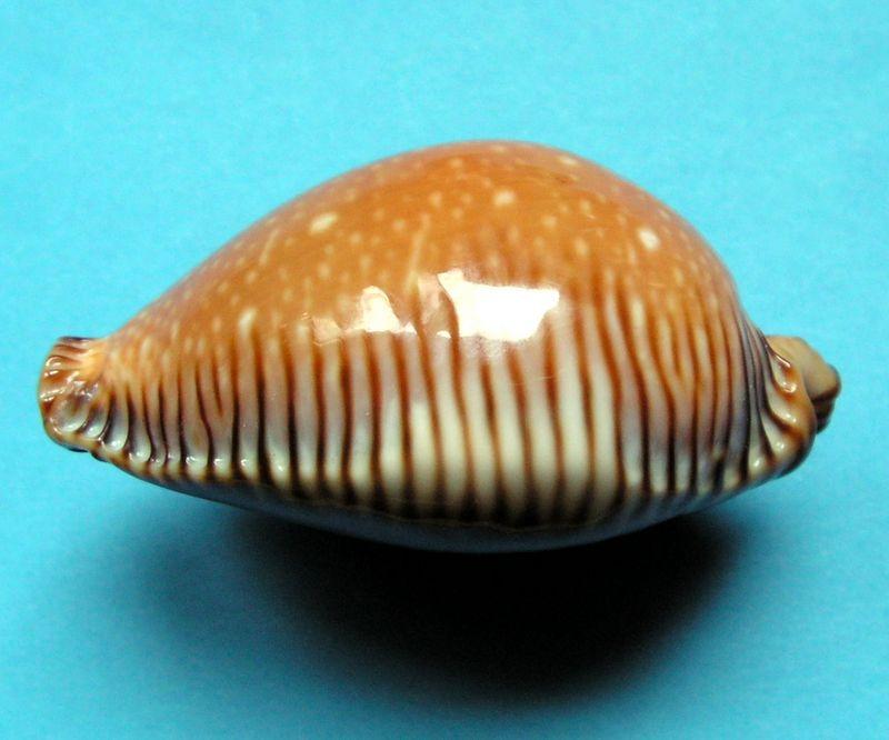 Perisserosa guttata surinensis - (Raybaudi, 1978) P_guttsuri_0