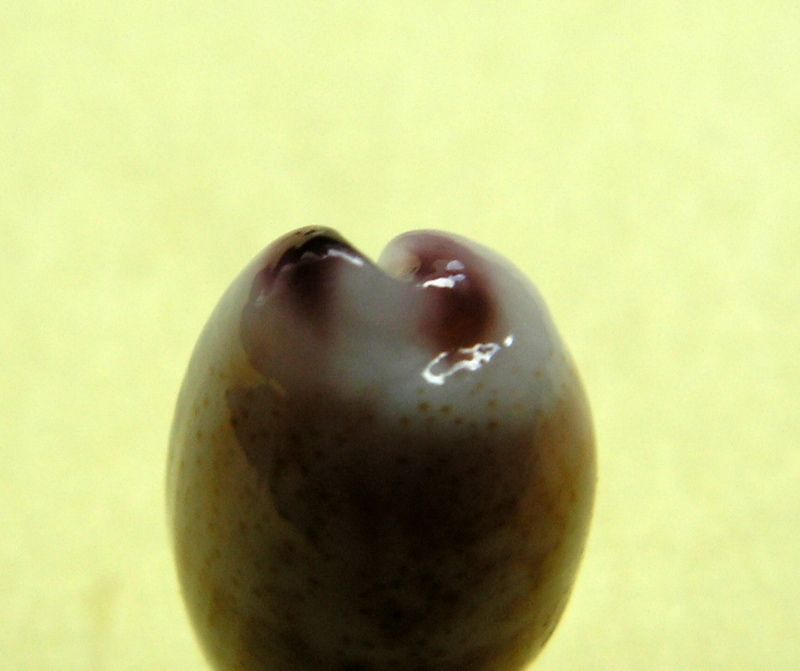 Purpuradusta fimbriata unifasciata - (Mighels, 1845) voir Purpuradusta fimbriata marmorata - (Schröter, 1804) P_fimbunif_0