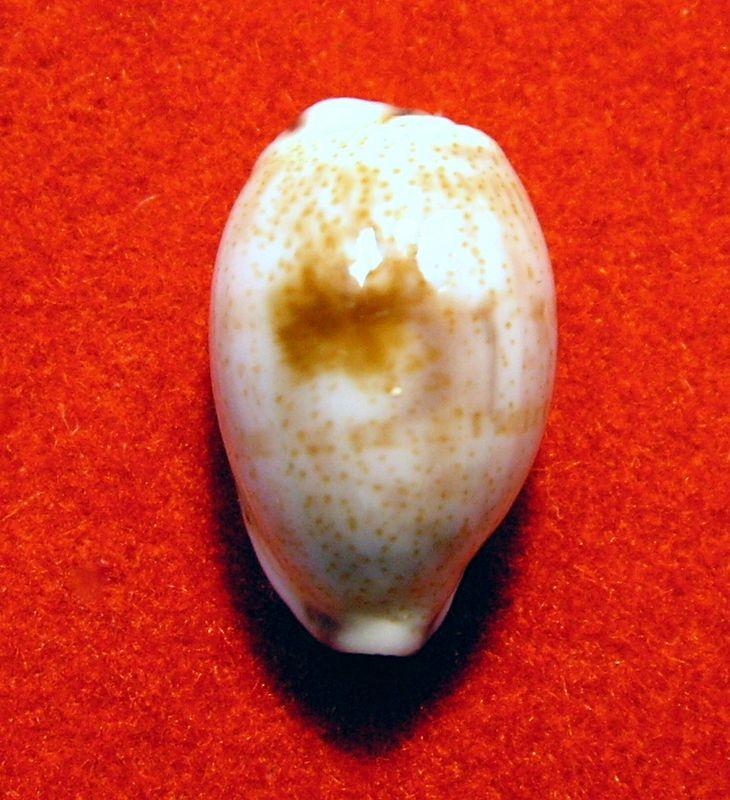 Purpuradusta fimbriata quasigracilis - Lorenz, 1989 P_fimbquas11