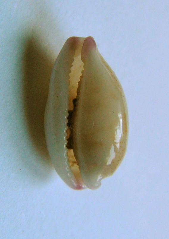 Purpuradusta microdon microdon - (J.E. Gray, 1828) P_microd13