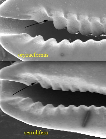 Purpuradusta oryzaeformis Lorenz,1999 Fossula