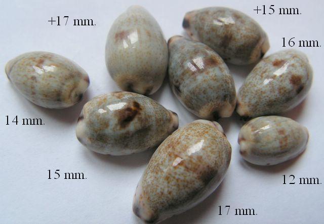 Purpuradusta gracilis gracilis - (Gaskoin, 1849) P_gragra1