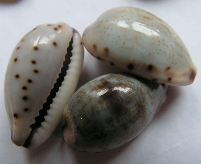 Purpuradusta gracilis gracilis - (Gaskoin, 1849) P_gragra_0