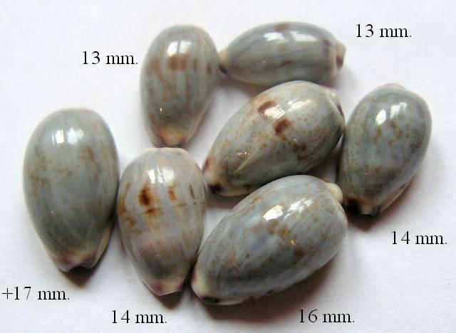 Purpuradusta gracilis notata - (Gill, 1858) P_granot2