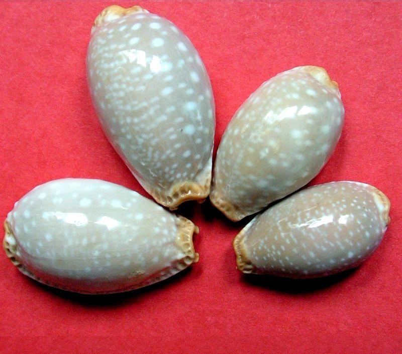 Staphylaea limacina clarissa - Lorenz, 1989 P_limaclar10