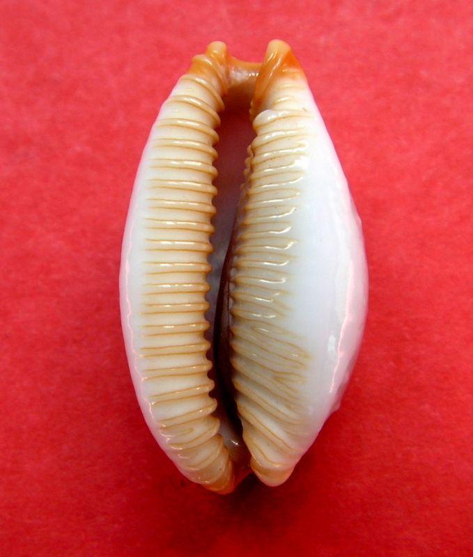 Staphylaea limacina interstincta - (Wood, 1828) P_limainte15