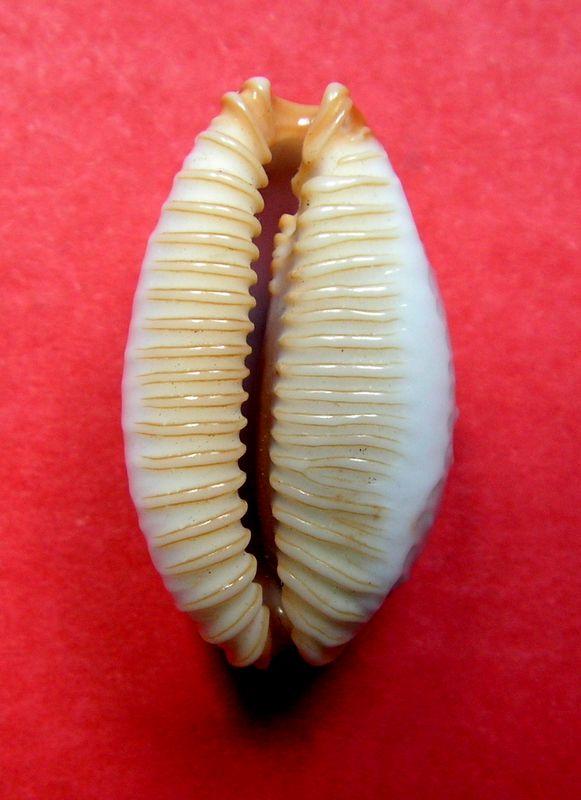 Staphylaea limacina limacina - (Lamarck, 1810) P_limalima13