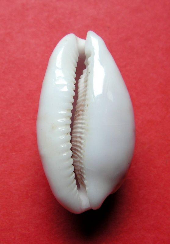Talostolida alisonae  Burgess, 1983 voir Talostolida pellucens pellucens - (Melvill, 1888) P_pellalis12