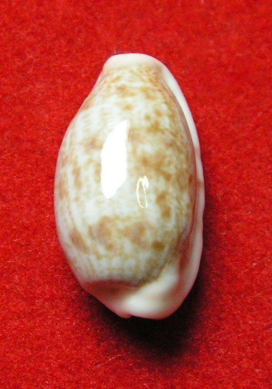 Talostolida violacincta - (Lorenz, 2002) P_subtviol11