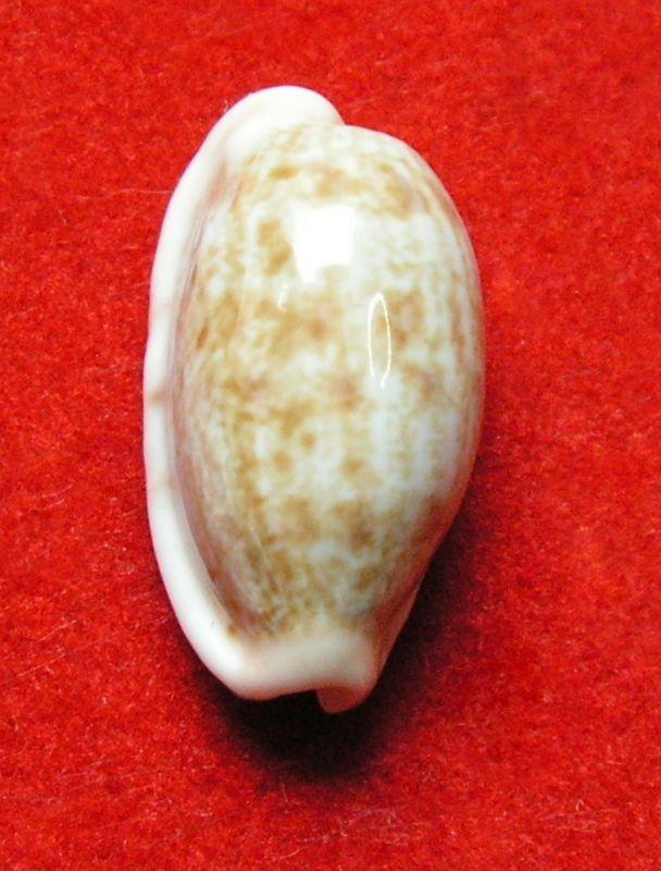 Talostolida violacincta - (Lorenz, 2002) P_subtviol13