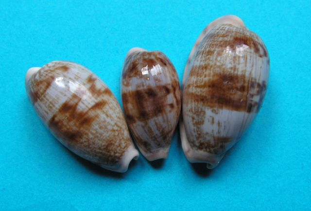 Talostolida teres natalensis - (Heiman & Mienis, 2002) P_terenata10