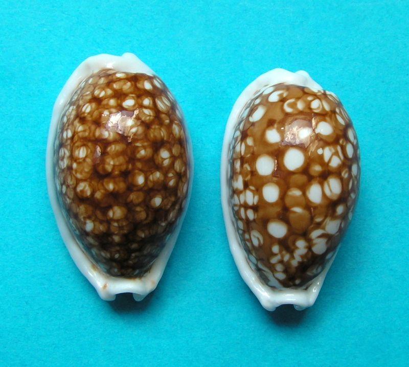 Cribrarula cribraria - (Linnaeus, 1758) - Niger P_cribnige10