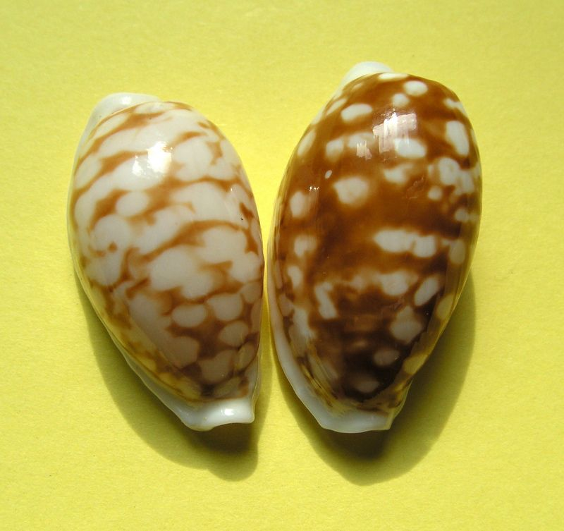 Cribrarula cribraria f. oceanica - (Raybaudi, 1993) P_criboce10