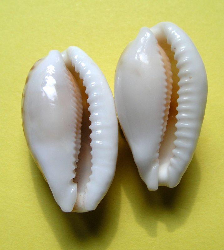 Cribrarula cribraria f. oceanica - (Raybaudi, 1993) P_criboce11
