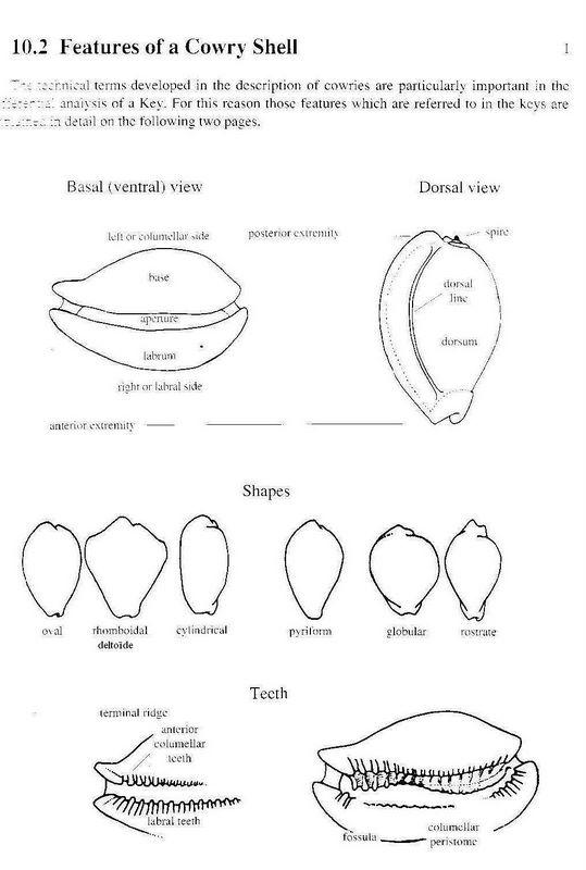 Formes des Cypraea Forme_cypraea