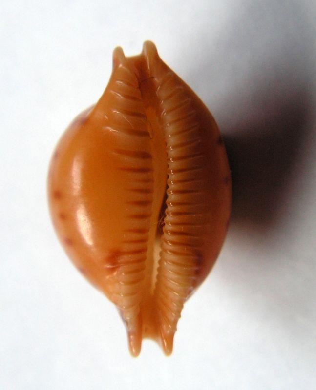 Pustularia globulus globulus - (Linnaeus, 1758) C_gloglo18