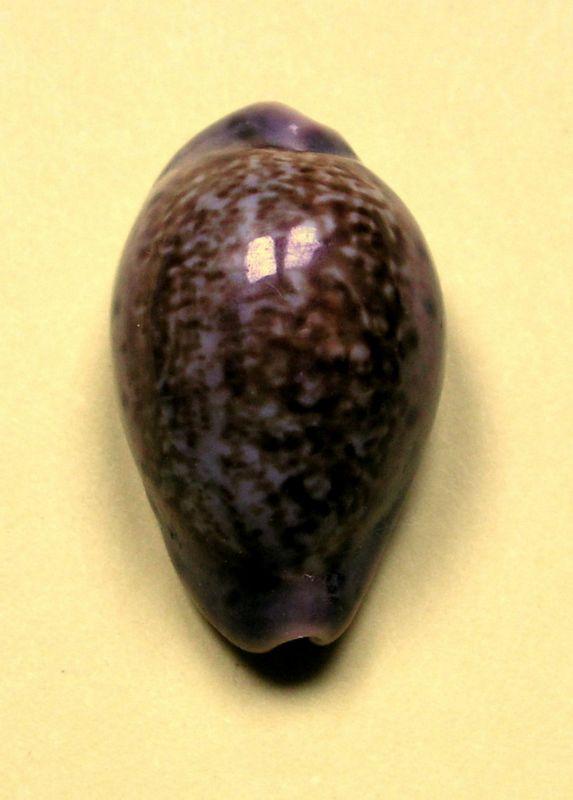 Zonaria zonaria zonaria - (Gmelin, 1791) - Page 2 P_zonasene21