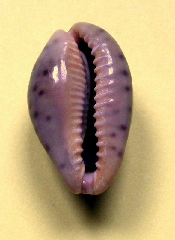 Zonaria zonaria zonaria - (Gmelin, 1791) - Page 2 P_zonasene22